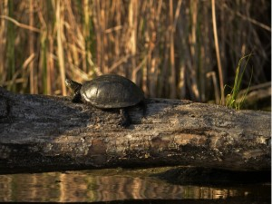 Черепаха болотяна (фото В. Яроцького)