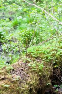 Вільха чорна: молода рослина зростає на поваленій колоді (фото Є. Яцюка)