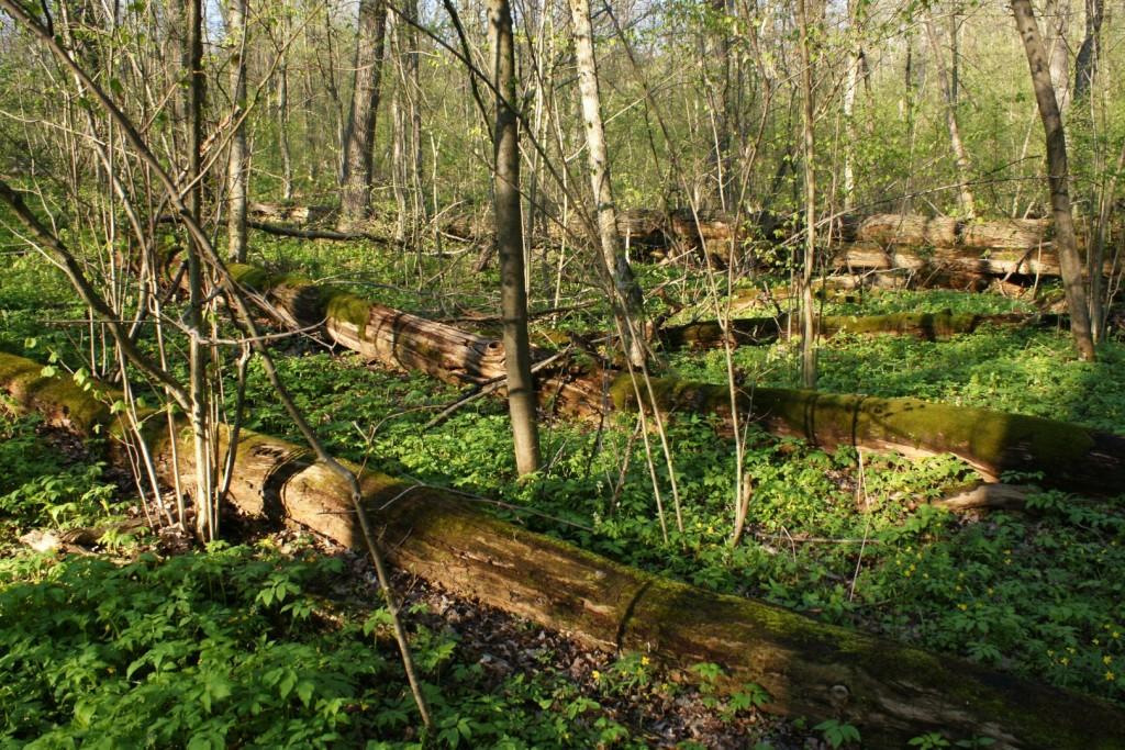 Повалені стовбури дерев та6 молодий ліс, що поновлюється (фото Є. Яцюк)
