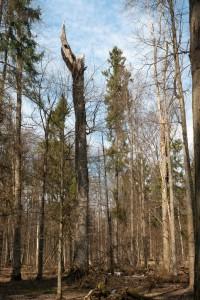 Стр4-5_сухостійне дерево-ЯцюкЄ