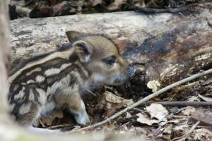 Порося свині дикої (фото Є. Яцюка)